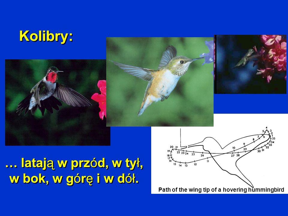 Kolibry: Path of the wing tip of a hovering hummingbird … latają w przód, w tył, w bok, w górę i w dół.