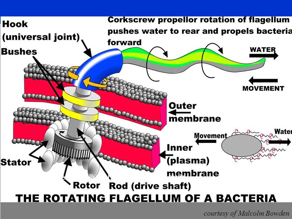 courtesy of Malcolm Bowden Das rotirende Flagellum beim Coli-Bakterium