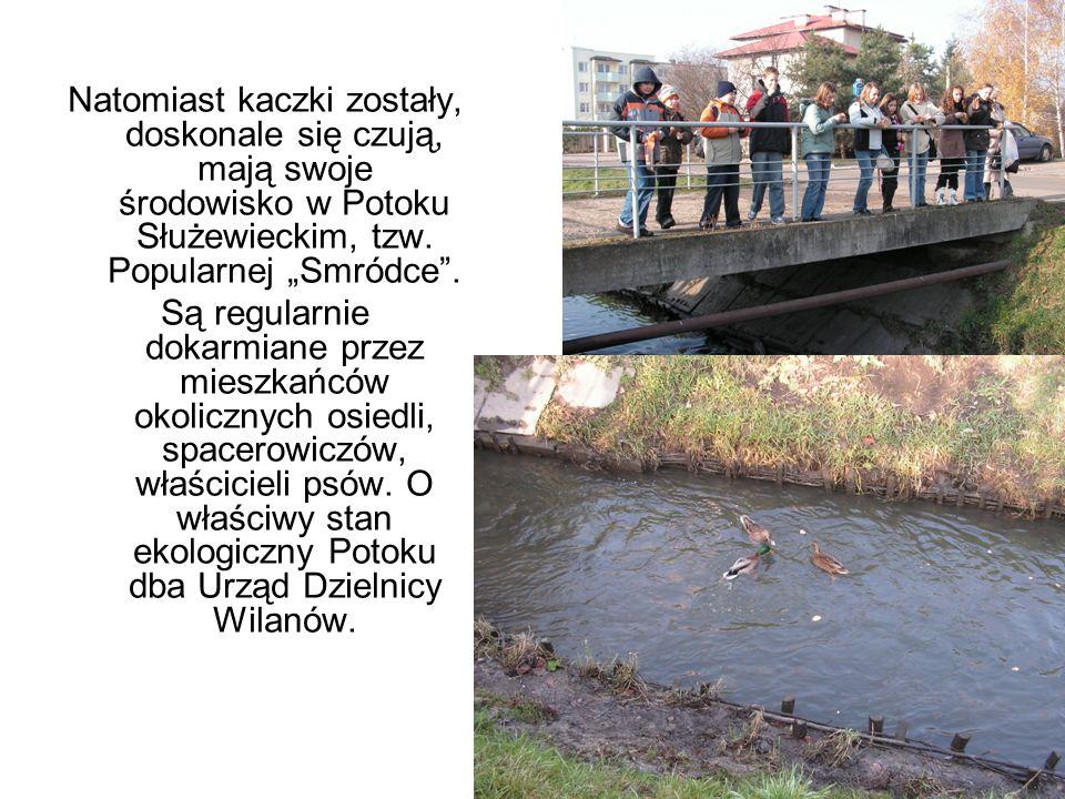 Natomiast kaczki zostały, doskonale się czują, mają swoje środowisko w Potoku Służewieckim, tzw. Popularnej Smródce. Są regularnie dokarmiane przez mi