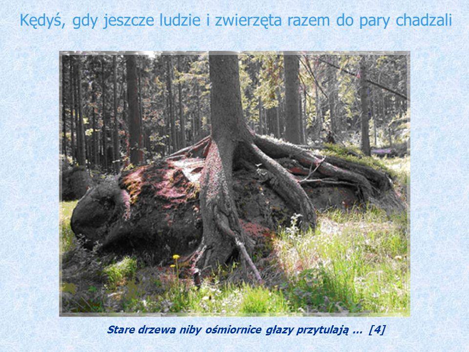 Kędyś, gdy jeszcze ludzie i zwierzęta razem do pary chadzali Stare drzewa niby ośmiornice głazy przytulają... [4]