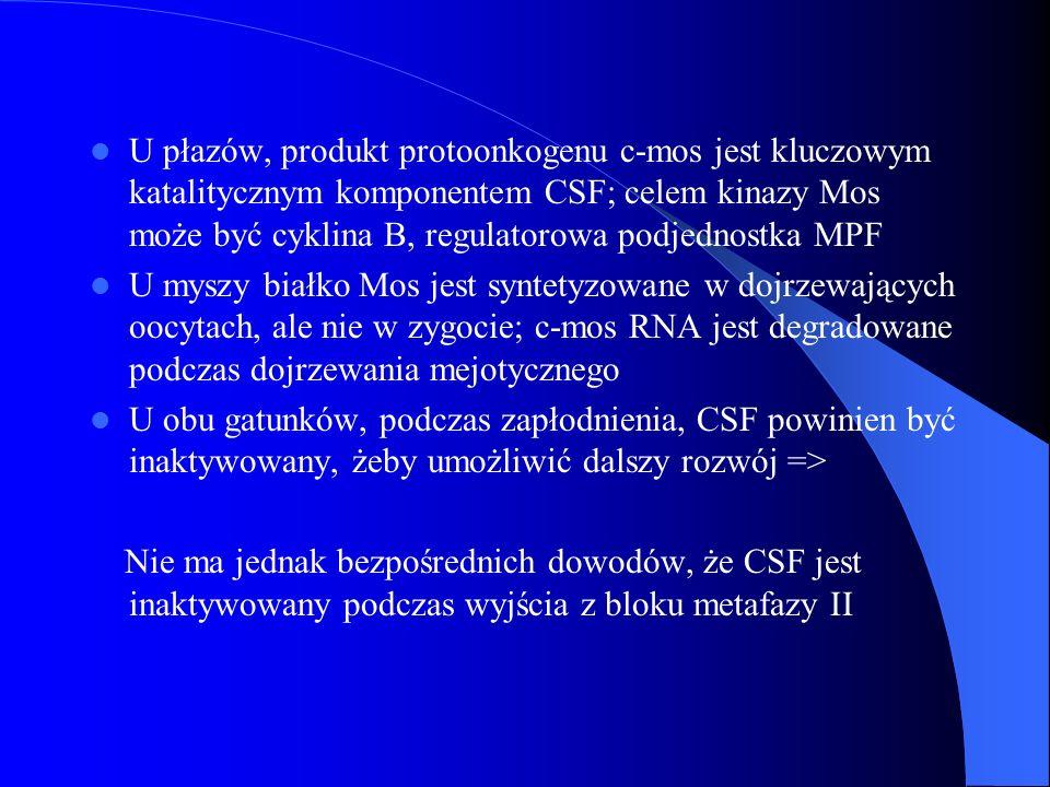 U płazów, produkt protoonkogenu c-mos jest kluczowym katalitycznym komponentem CSF; celem kinazy Mos może być cyklina B, regulatorowa podjednostka MPF