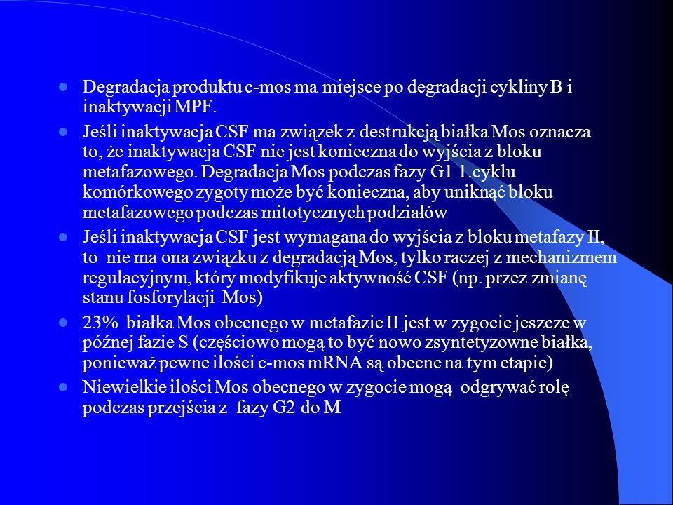 Degradacja produktu c-mos ma miejsce po degradacji cykliny B i inaktywacji MPF. Jeśli inaktywacja CSF ma związek z destrukcją białka Mos oznacza to, ż