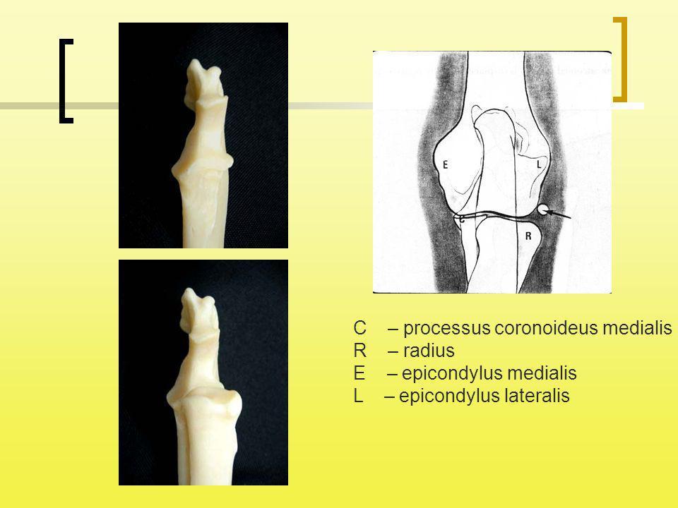 C – processus coronoideus medialis R – radius E – epicondylus medialis L – epicondylus lateralis