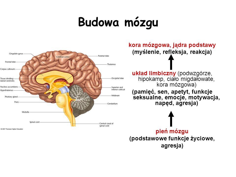Budowa mózgu kora mózgowa, jądra podstawy (myślenie, refleksja, reakcja) układ limbiczny (podwzgórze, hipokamp, ciało migdałowate, kora mózgowa) (pami