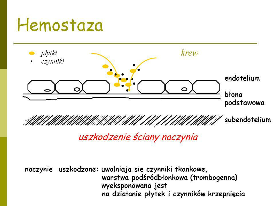 endotelium błona podstawowa subendotelium krew naczynie uszkodzone: uwalniają się czynniki tkankowe, warstwa podśródbłonkowa (trombogenna) wyeksponowa