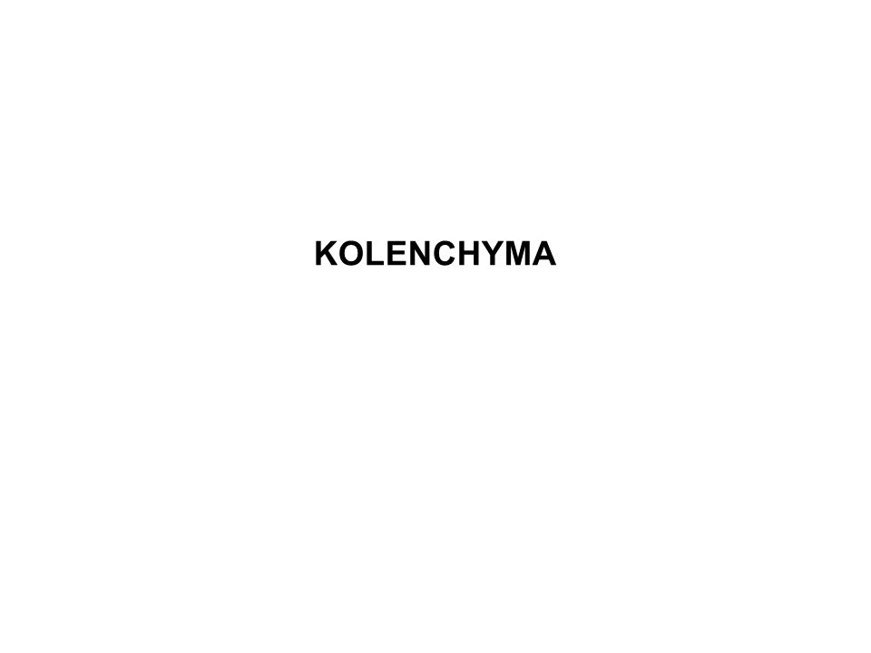 KOLENCHYMA