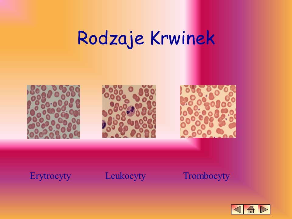 Erytrocyty ERYTROCYTY – u zarodków wytwarzane są w pęcherzyku żółciowym, potem w wątrobie, a od drugiej połowy życia w szpiku kostnym.