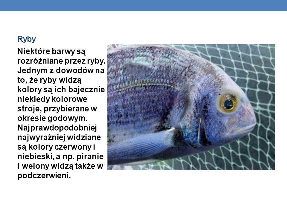 Ryby Niektóre barwy są rozróżniane przez ryby. Jednym z dowodów na to, że ryby widzą kolory są ich bajecznie niekiedy kolorowe stroje, przybierane w o