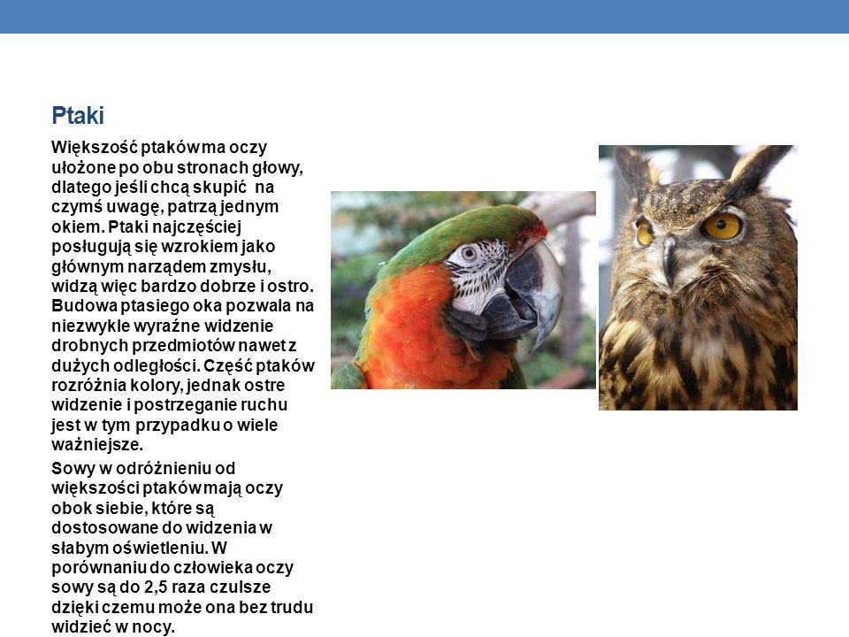 Ptaki Większość ptaków ma oczy ułożone po obu stronach głowy, dlatego jeśli chcą skupić na czymś uwagę, patrzą jednym okiem. Ptaki najczęściej posługu