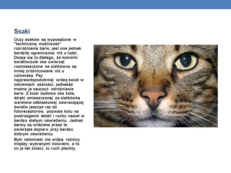 Ssaki Oczy ssaków są wyposażone w