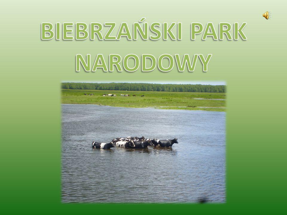 Historia Parku Początki ochrony przyrody nad Biebrzą sięgają okresu międzywojennego, kiedy to utworzono w środkowej części kotliny biebrzańskiej dwa rezerwaty: Czerwone Bagno i Grzędy.