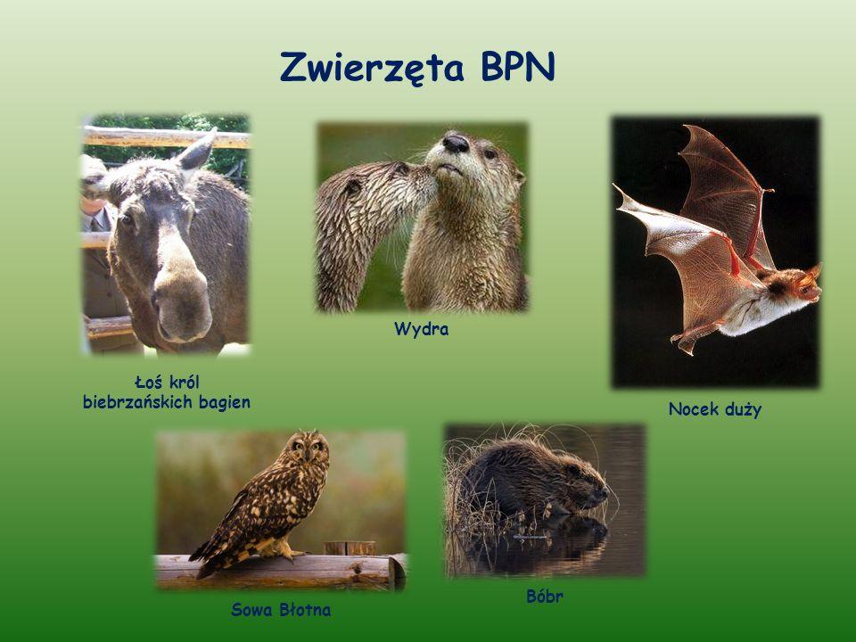 Zwierzęta BPN Łoś król biebrzańskich bagien Bóbr Sowa Błotna Wydra Nocek duży