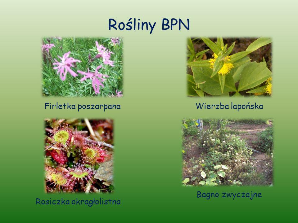Rośliny BPN Firletka poszarpanaWierzba lapońska Bagno zwyczajne Rosiczka okrągłolistna