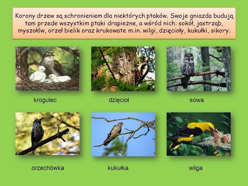 Najwyższą warstwę lasu tworzą drzewa wysokie, do których zaliczają się m.in.: brzozy, buki, sosny, świerki, modrzewie, dęby, jodły, olchy i klony. Ich