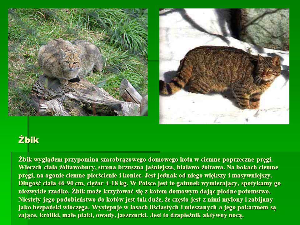 Żbik Żbik wyglądem przypomina szarobrązowego domowego kota w ciemne poprzeczne pręgi. Wierzch ciała żółtawobury, strona brzuszna jaśniejsza, białawo-ż