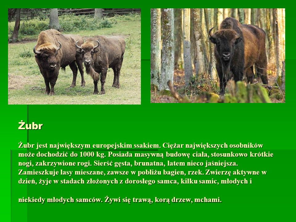 Żubr Żubr jest największym europejskim ssakiem. Ciężar największych osobników może dochodzić do 1000 kg. Posiada masywną budowę ciała, stosunkowo krót