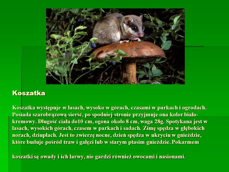 Koszatka Koszatka występuje w lasach, wysoko w górach, czasami w parkach i ogrodach. Posiada szarobrązową sierść, po spodniej stronie przyjmuje ona ko