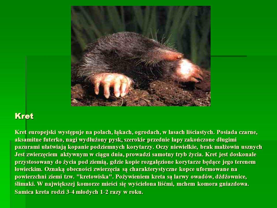 Kret Kret europejski występuje na polach, łąkach, ogrodach, w lasach liściastych. Posiada czarne, aksamitne futerko, nagi wydłużony pysk, szerokie prz