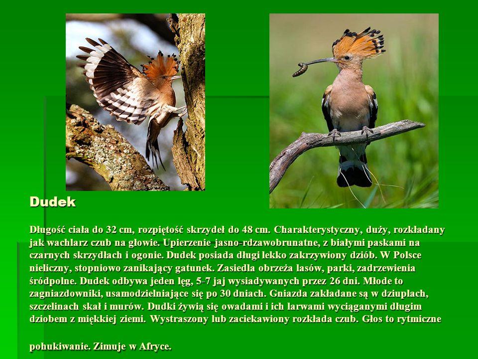 Dudek Długość ciała do 32 cm, rozpiętość skrzydeł do 48 cm. Charakterystyczny, duży, rozkładany jak wachlarz czub na głowie. Upierzenie jasno-rdzawobr