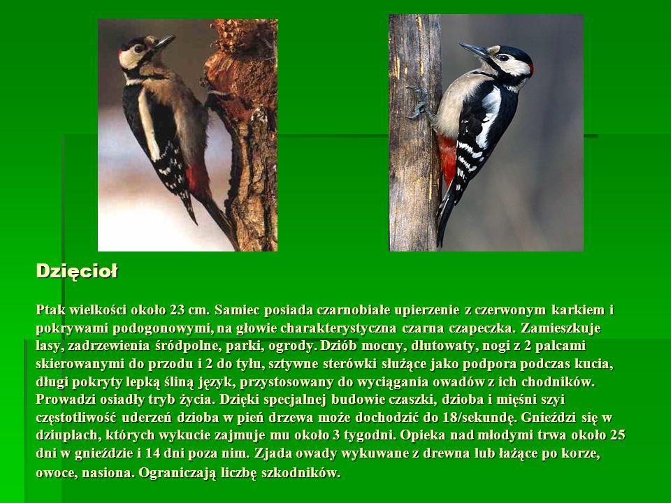 Dzięcioł Ptak wielkości około 23 cm. Samiec posiada czarnobiałe upierzenie z czerwonym karkiem i pokrywami podogonowymi, na głowie charakterystyczna c