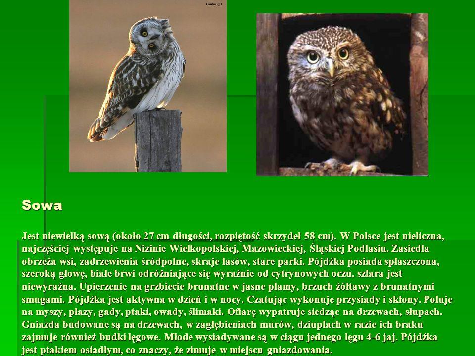 Sowa Jest niewielką sową (około 27 cm długości, rozpiętość skrzydeł 58 cm). W Polsce jest nieliczna, najczęściej występuje na Nizinie Wielkopolskiej,