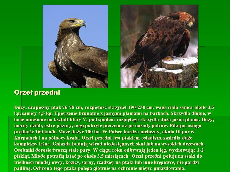Orzeł przedni Duży, drapieżny ptak 76-78 cm, rozpiętość skrzydeł 190-230 cm, waga ciała samca około 3,5 kg, samicy 4,5 kg. Upierzenie brunatne z jasny