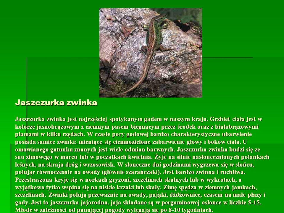 Jaszczurka zwinka Jaszczurka zwinka jest najczęściej spotykanym gadem w naszym kraju. Grzbiet ciała jest w kolorze jasnobrązowym z ciemnym pasem biegn