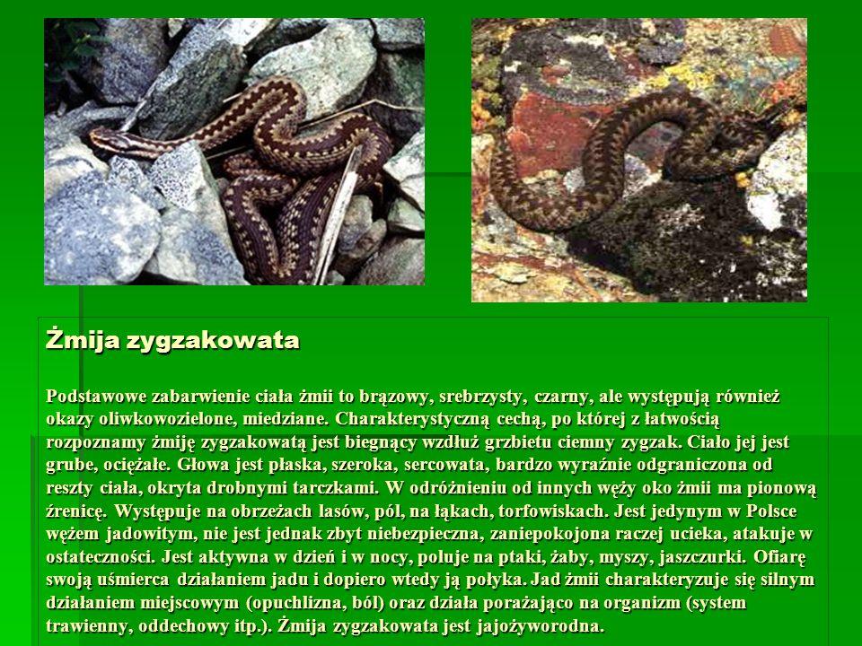 Żmija zygzakowata Podstawowe zabarwienie ciała żmii to brązowy, srebrzysty, czarny, ale występują również okazy oliwkowozielone, miedziane. Charaktery