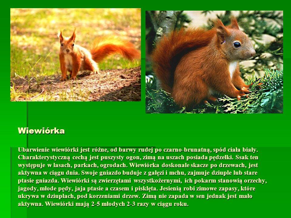 Wiewiórka Ubarwienie wiewiórki jest różne, od barwy rudej po czarno-brunatną, spód ciała biały. Charakterystyczną cechą jest puszysty ogon, zimą na us