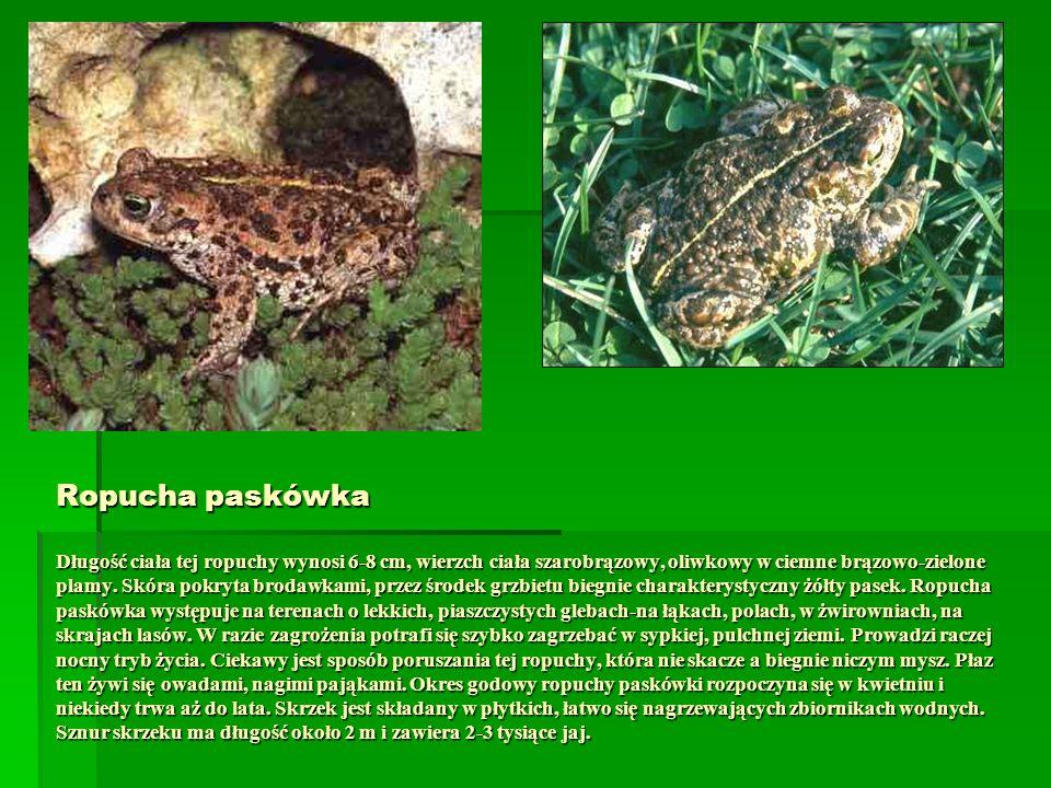 Ropucha paskówka Długość ciała tej ropuchy wynosi 6-8 cm, wierzch ciała szarobrązowy, oliwkowy w ciemne brązowo-zielone plamy. Skóra pokryta brodawkam