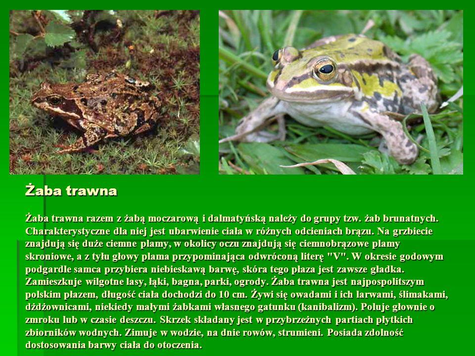 Żaba trawna Żaba trawna razem z żabą moczarową i dalmatyńską należy do grupy tzw. żab brunatnych. Charakterystyczne dla niej jest ubarwienie ciała w r