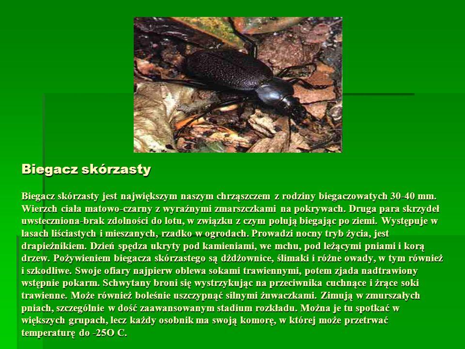 Biegacz skórzasty Biegacz skórzasty jest największym naszym chrząszczem z rodziny biegaczowatych 30-40 mm. Wierzch ciała matowo-czarny z wyraźnymi zma