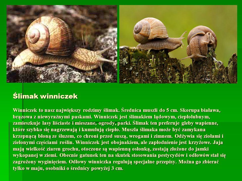 Ślimak winniczek Winniczek to nasz największy rodzimy ślimak. Średnica muszli do 5 cm. Skorupa biaława, brązowa z niewyraźnymi paskami. Winniczek jest