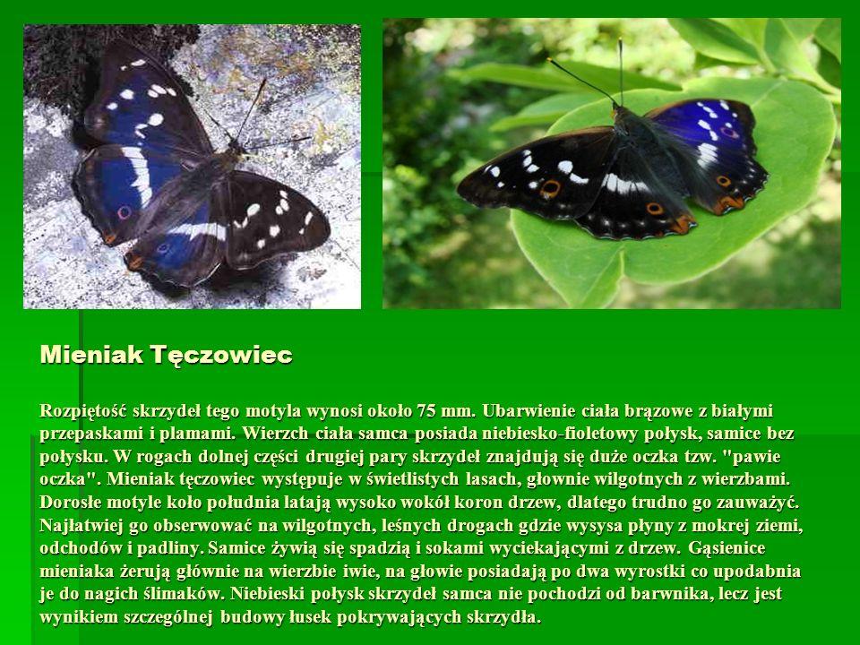 Mieniak Tęczowiec Rozpiętość skrzydeł tego motyla wynosi około 75 mm. Ubarwienie ciała brązowe z białymi przepaskami i plamami. Wierzch ciała samca po