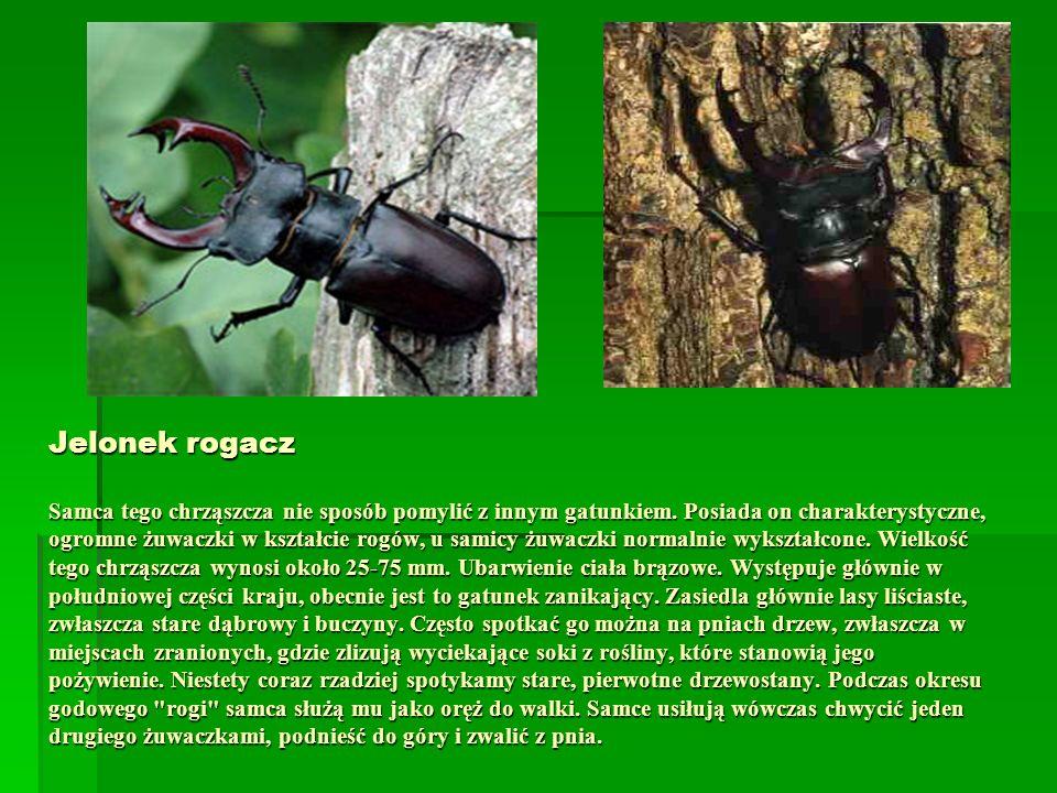 Jelonek rogacz Samca tego chrząszcza nie sposób pomylić z innym gatunkiem. Posiada on charakterystyczne, ogromne żuwaczki w kształcie rogów, u samicy