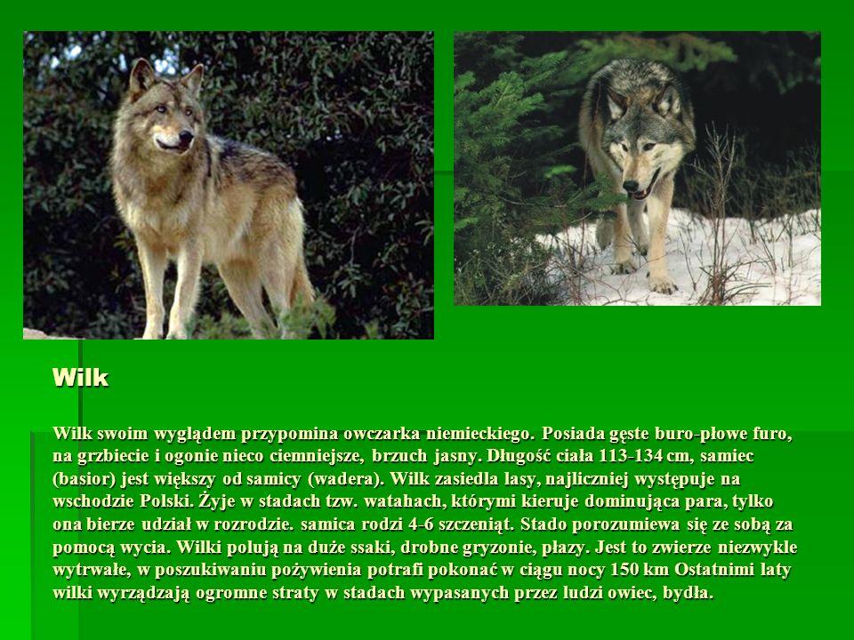 Wilk Wilk swoim wyglądem przypomina owczarka niemieckiego. Posiada gęste buro-płowe furo, na grzbiecie i ogonie nieco ciemniejsze, brzuch jasny. Długo