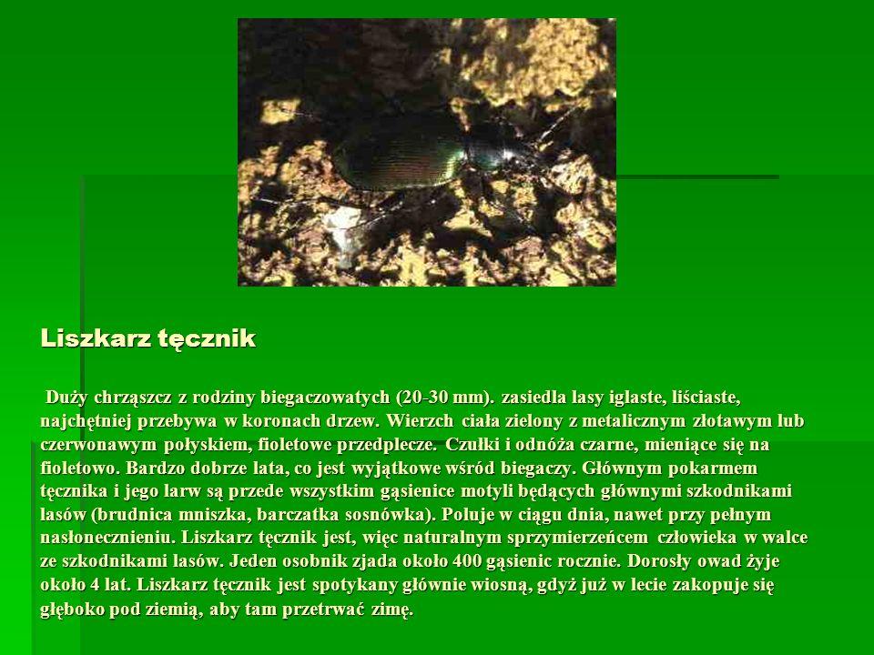 Liszkarz tęcznik Duży chrząszcz z rodziny biegaczowatych (20-30 mm). zasiedla lasy iglaste, liściaste, najchętniej przebywa w koronach drzew. Wierzch