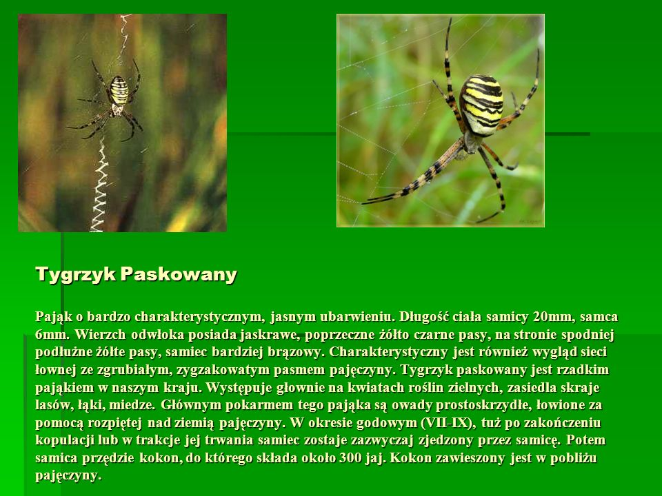 Tygrzyk Paskowany Pająk o bardzo charakterystycznym, jasnym ubarwieniu. Długość ciała samicy 20mm, samca 6mm. Wierzch odwłoka posiada jaskrawe, poprze