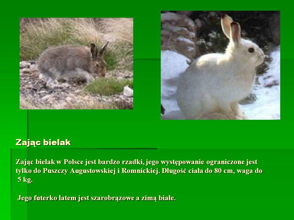 Zając bielak Zając bielak w Polsce jest bardzo rzadki, jego występowanie ograniczone jest tylko do Puszczy Augustowskiej i Romnickiej. Długość ciała d