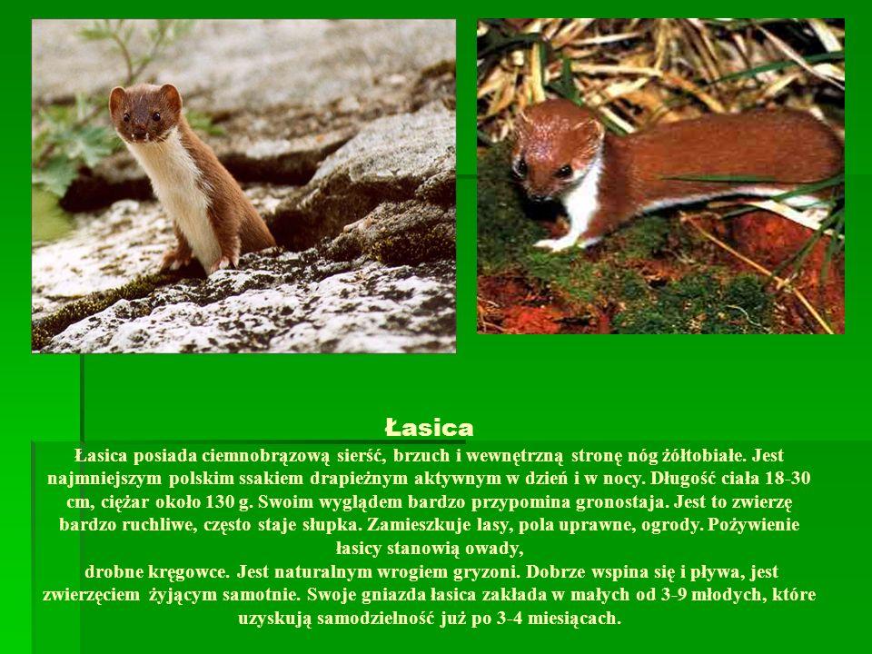 Łasica Łasica posiada ciemnobrązową sierść, brzuch i wewnętrzną stronę nóg żółtobiałe. Jest najmniejszym polskim ssakiem drapieżnym aktywnym w dzień i
