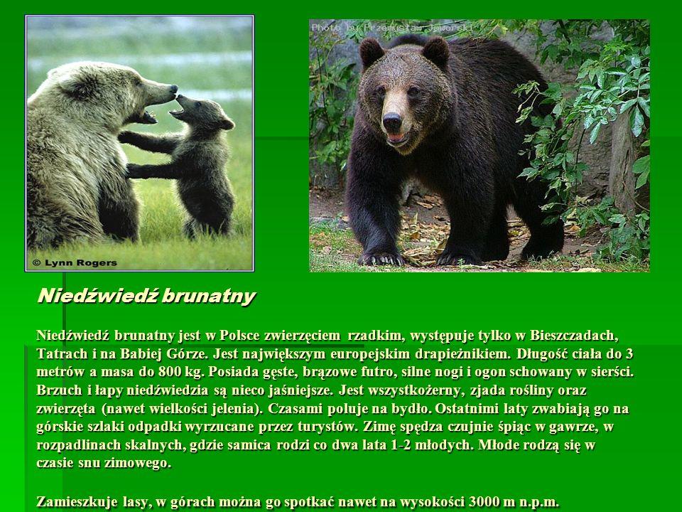 Niedźwiedź brunatny Niedźwiedź brunatny jest w Polsce zwierzęciem rzadkim, występuje tylko w Bieszczadach, Tatrach i na Babiej Górze. Jest największym