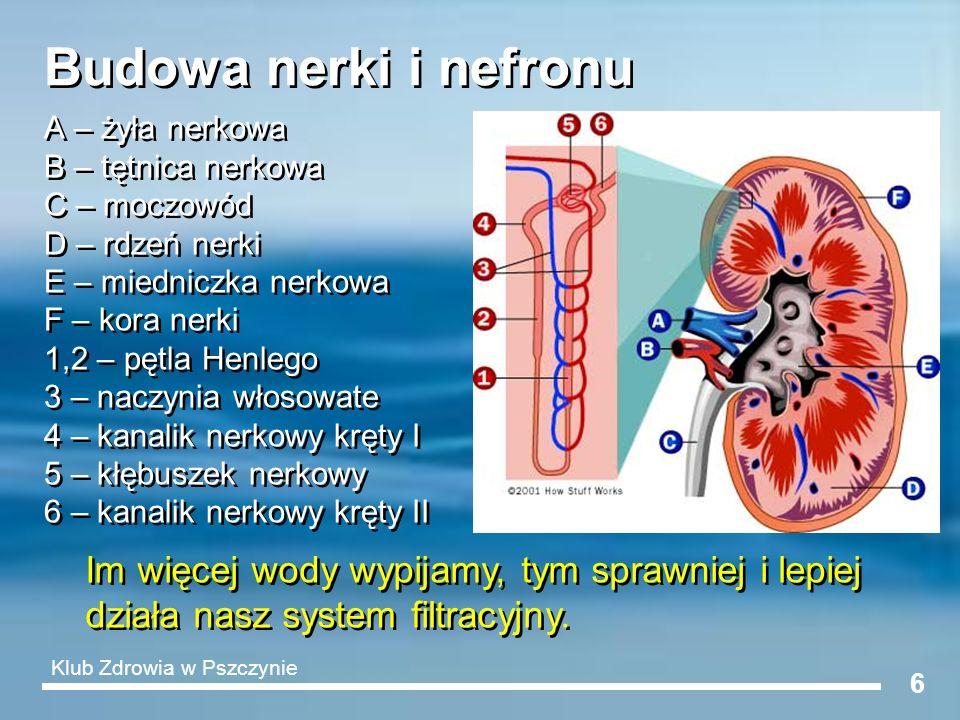6 Budowa nerki i nefronu A – żyła nerkowa B – tętnica nerkowa C – moczowód D – rdzeń nerki E – miedniczka nerkowa F – kora nerki 1,2 – pętla Henlego 3