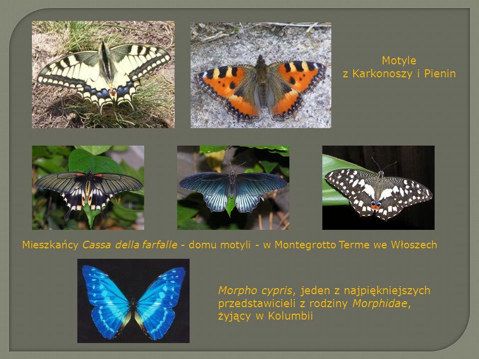 Motyle z Karkonoszy i Pienin Mieszkańcy Cassa della farfalle - domu motyli - w Montegrotto Terme we Włoszech Morpho cypris, jeden z najpiękniejszych p