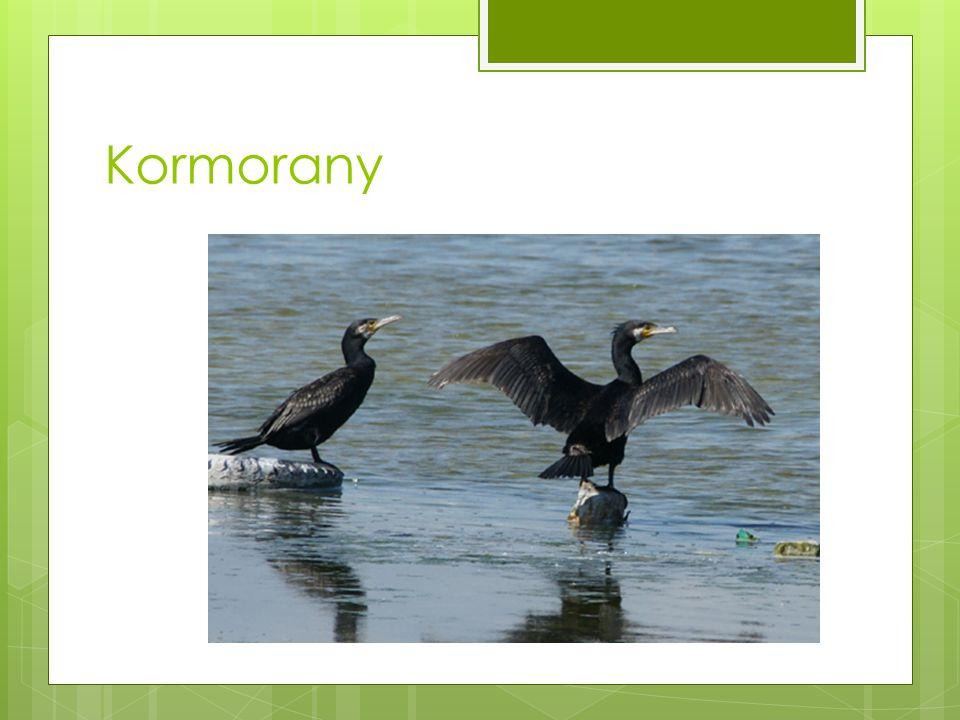 Kormorany