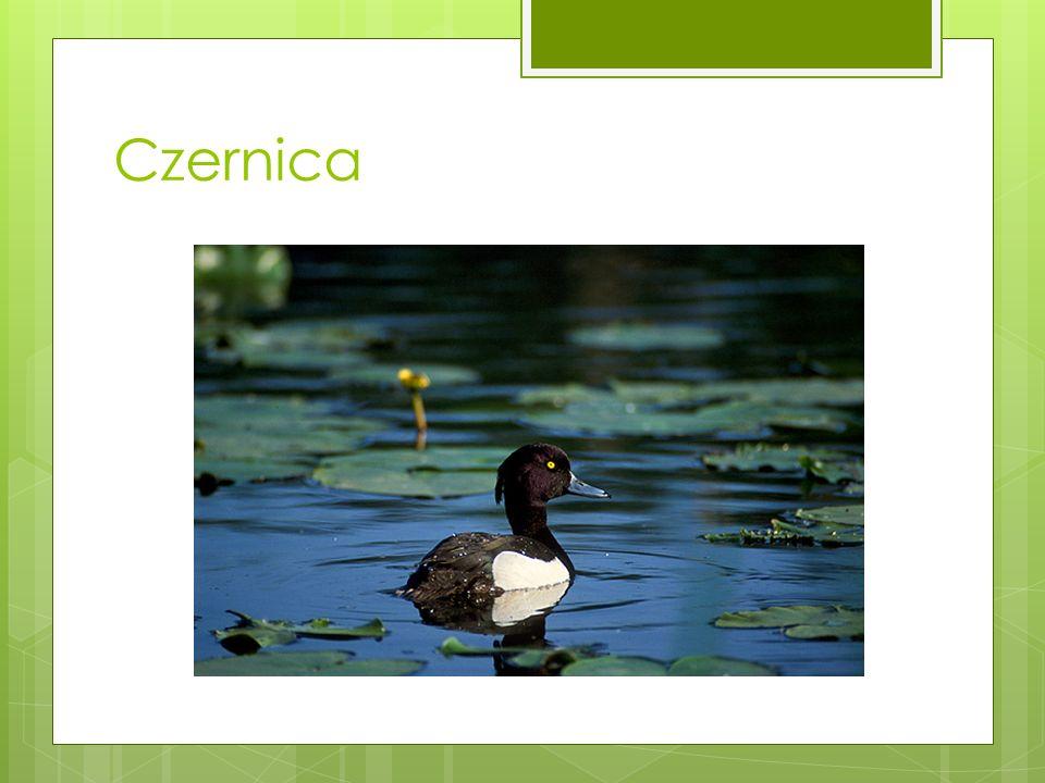 Czernica