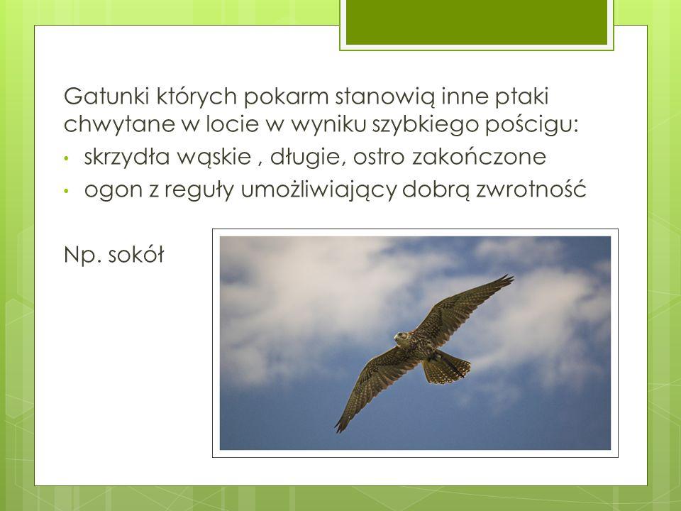 Gatunki których pokarm stanowią inne ptaki chwytane w locie w wyniku szybkiego pościgu: skrzydła wąskie, długie, ostro zakończone ogon z reguły umożli