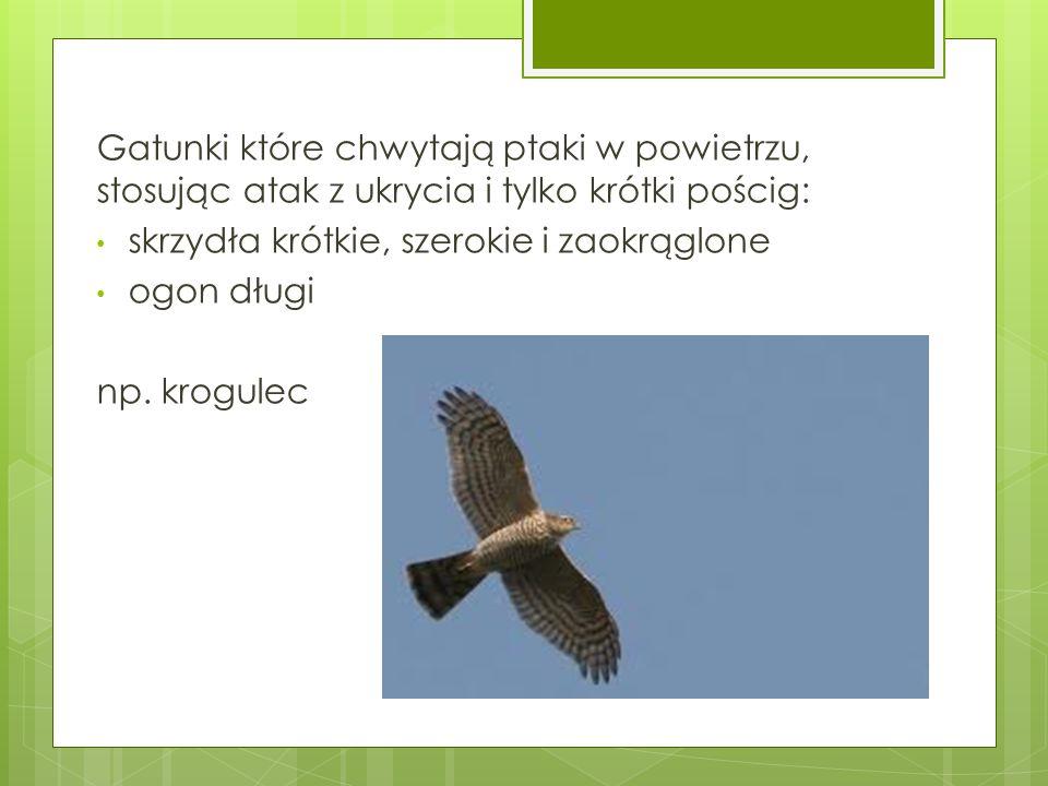 Gatunki które chwytają ptaki w powietrzu, stosując atak z ukrycia i tylko krótki pościg: skrzydła krótkie, szerokie i zaokrąglone ogon długi np. krogu