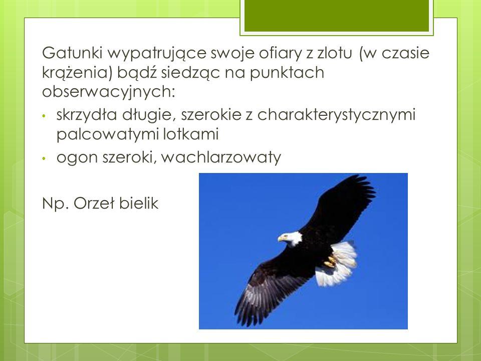 Gatunki wypatrujące swoje ofiary z zlotu (w czasie krążenia) bądź siedząc na punktach obserwacyjnych: skrzydła długie, szerokie z charakterystycznymi