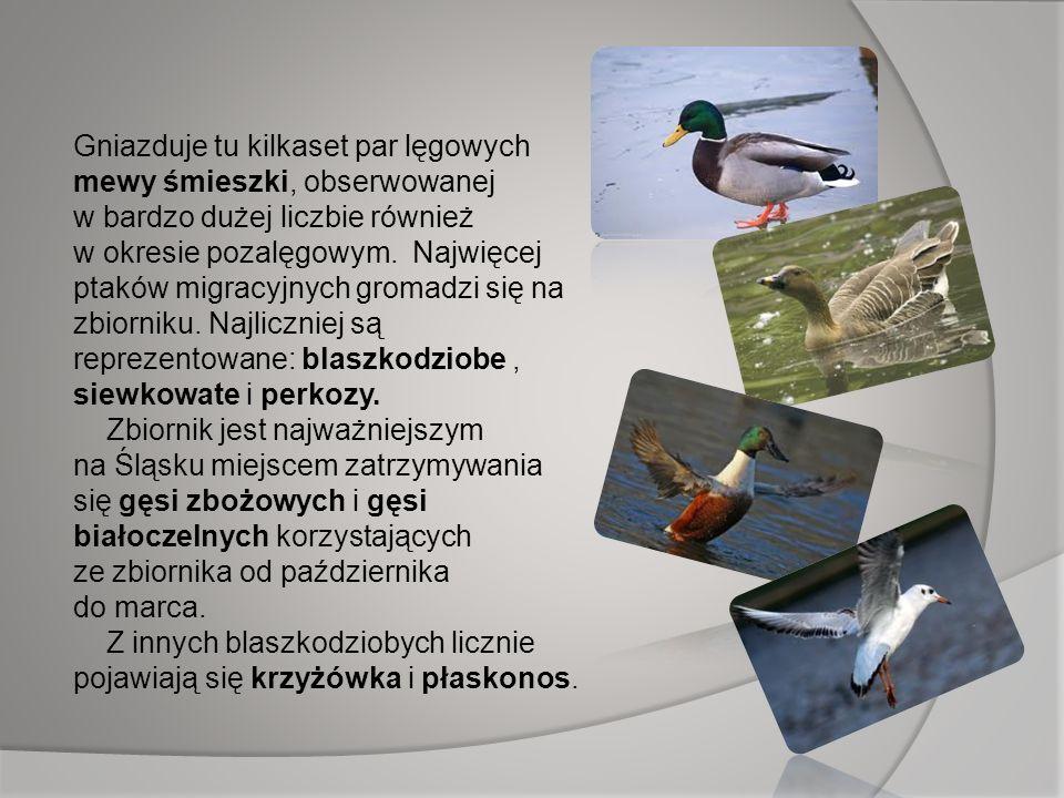 Gniazduje tu kilkaset par lęgowych mewy śmieszki, obserwowanej w bardzo dużej liczbie również w okresie pozalęgowym. Najwięcej ptaków migracyjnych gro