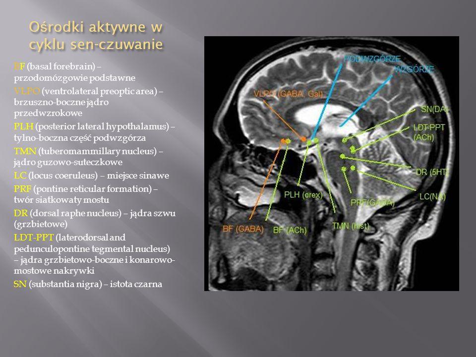 O ś rodki aktywne w cyklu sen-czuwanie BF (basal forebrain) – przodomózgowie podstawne VLPO (ventrolateral preoptic area) – brzuszno-boczne jądro prze
